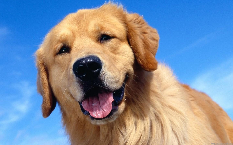 Beautiful Dogs Hd Wallpapers 1440x900 pixel Animal HD Wallpaper 1440x900