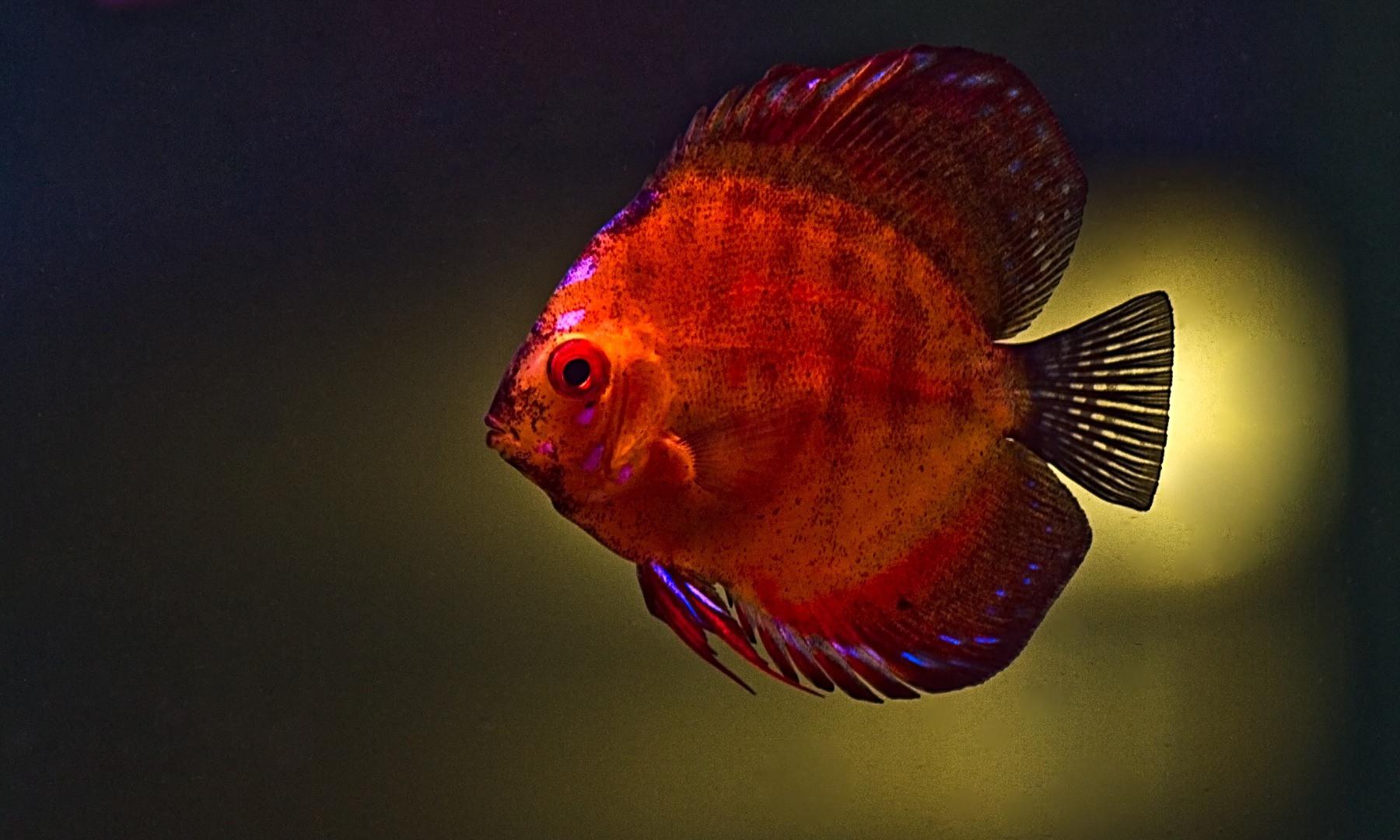 discus fish wallpaper wallpapersafari