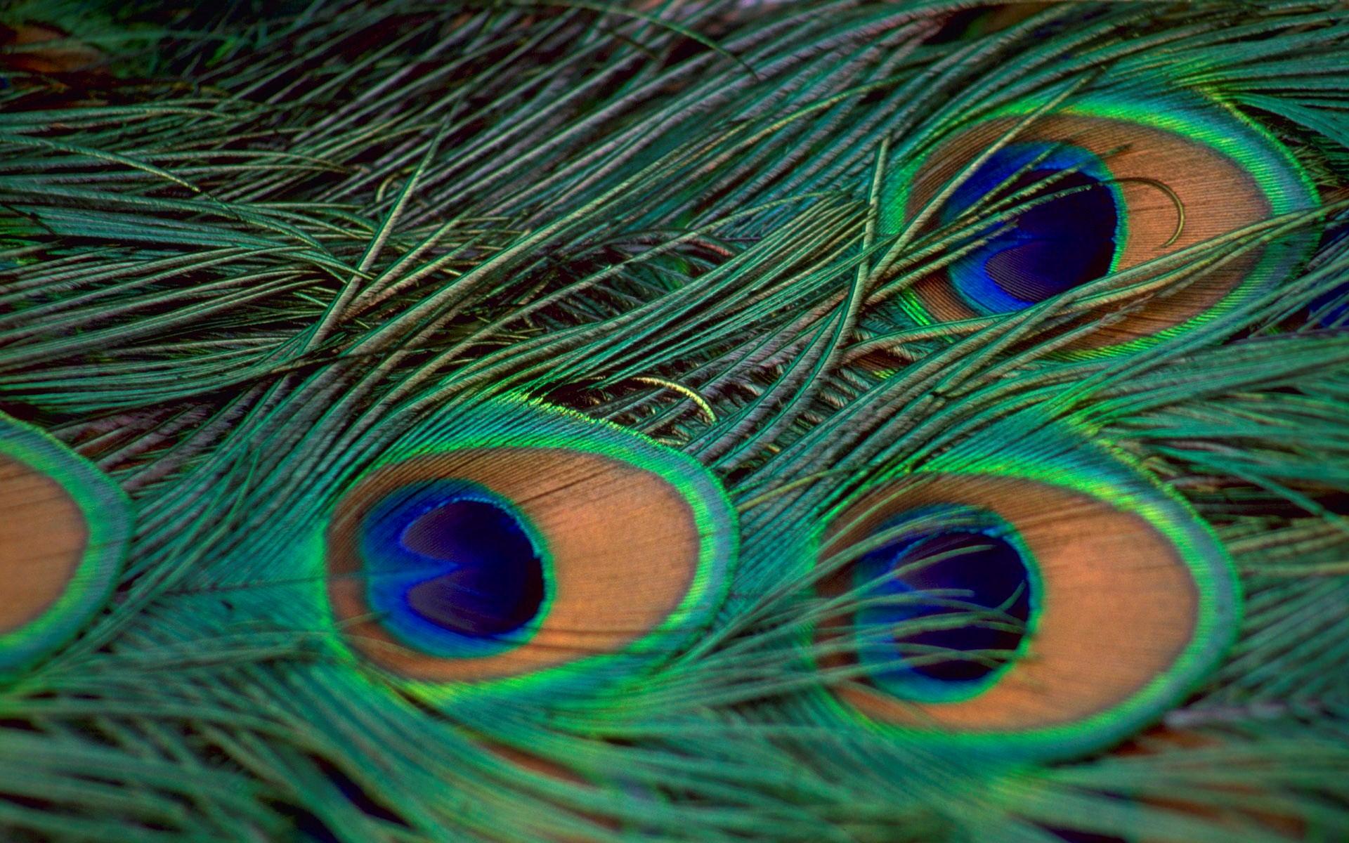 Wallpaper Name  Green and Blue Peacock Bird Feather HD Wallpaper 1920x1200