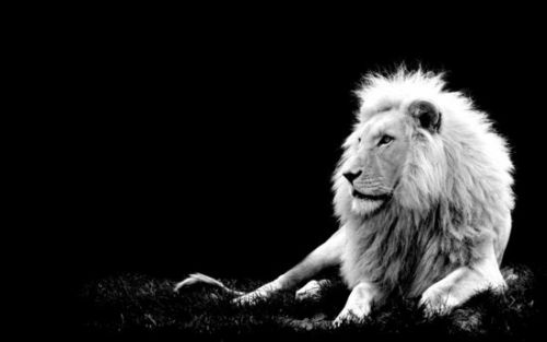 black and white animal 3d wallpapers 500x313