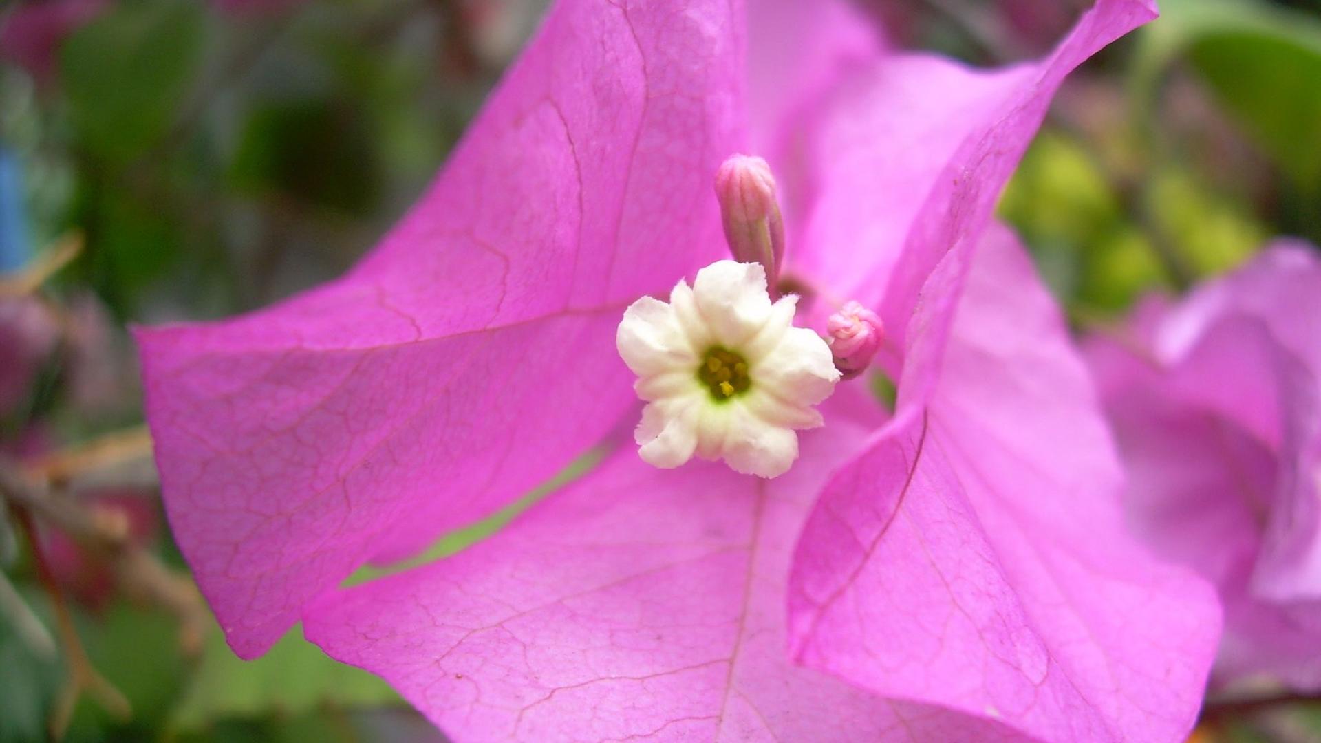 Pink Flower HD Wallpaper 1080p HD Wallpapers 1920x1080