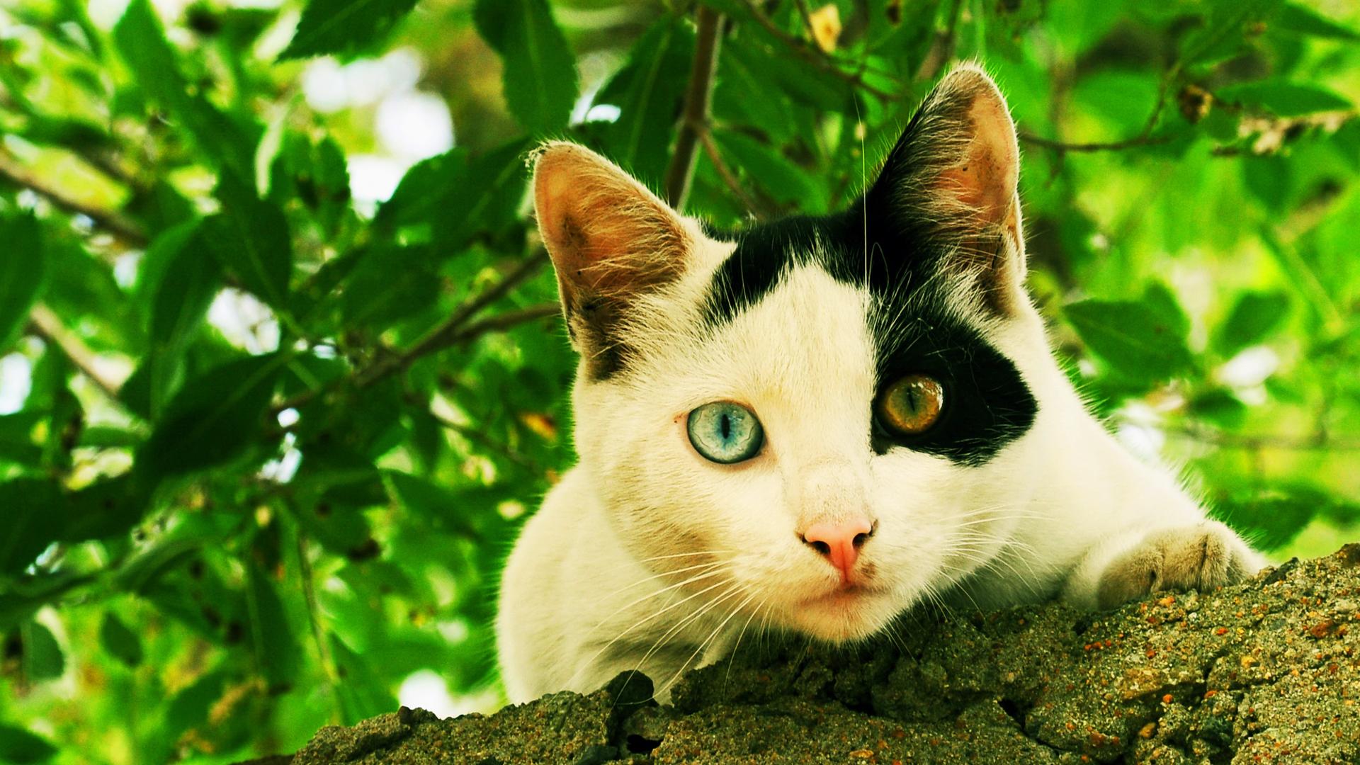 Белый кот разные глаза  № 2956515 без смс