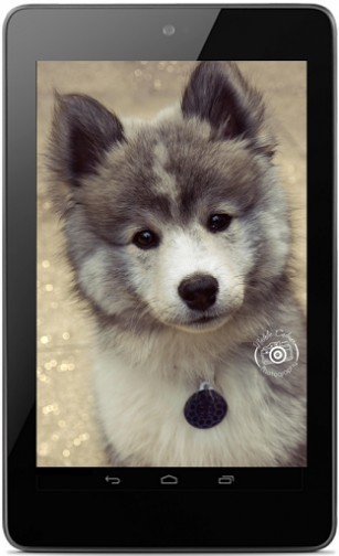 oreo pomsky dog photos his name is oreo now 7 months old pomsky. ← Cute Oreo Wallpaper