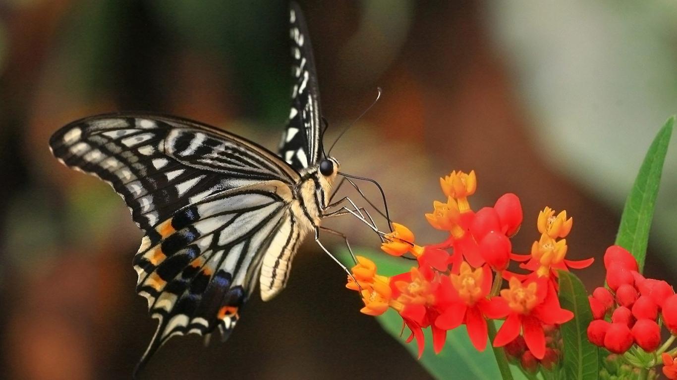 HD Wallpaper Butterfly hd wallpapers 1366x768