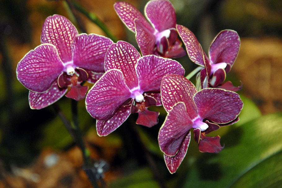 Purple Orchid Wallpaper Purple Orchid Wallpaper 909x606