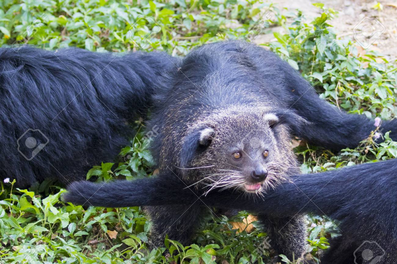 Image Of A Binturong Or Bearcat On Nature Background Wild Animals 1300x866