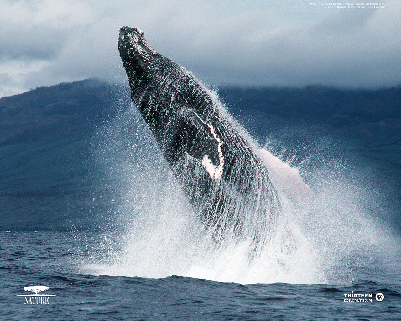 Download Humpback Whale Wallpaper 1280x1024