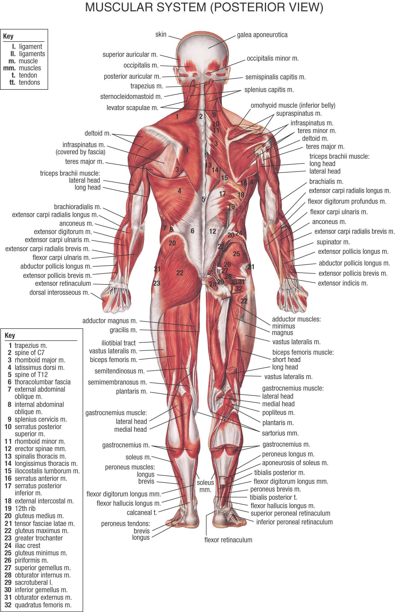 Human Body Wallpapers 72 images 1492x2312