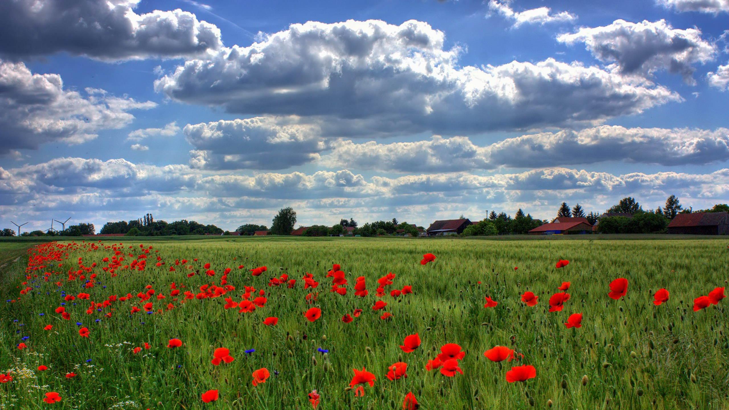 Field Of Poppies Wallpaper 2560x1440 2560x1440