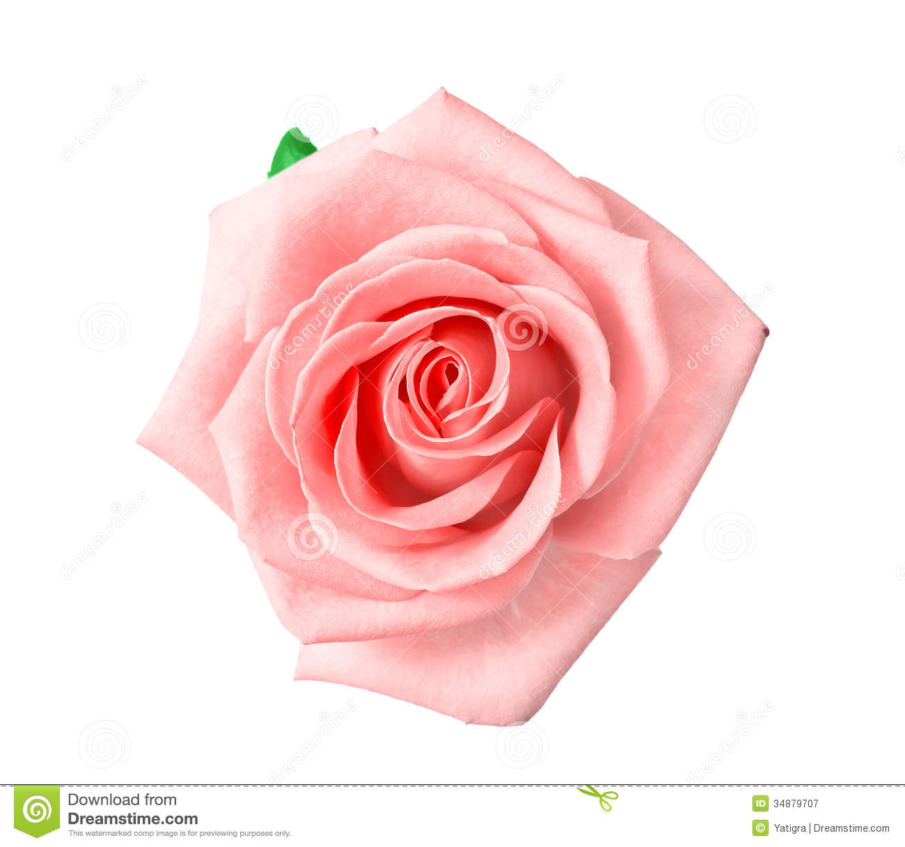 Pink And White Roses Background Head of pink rose isolated on 1300x1217