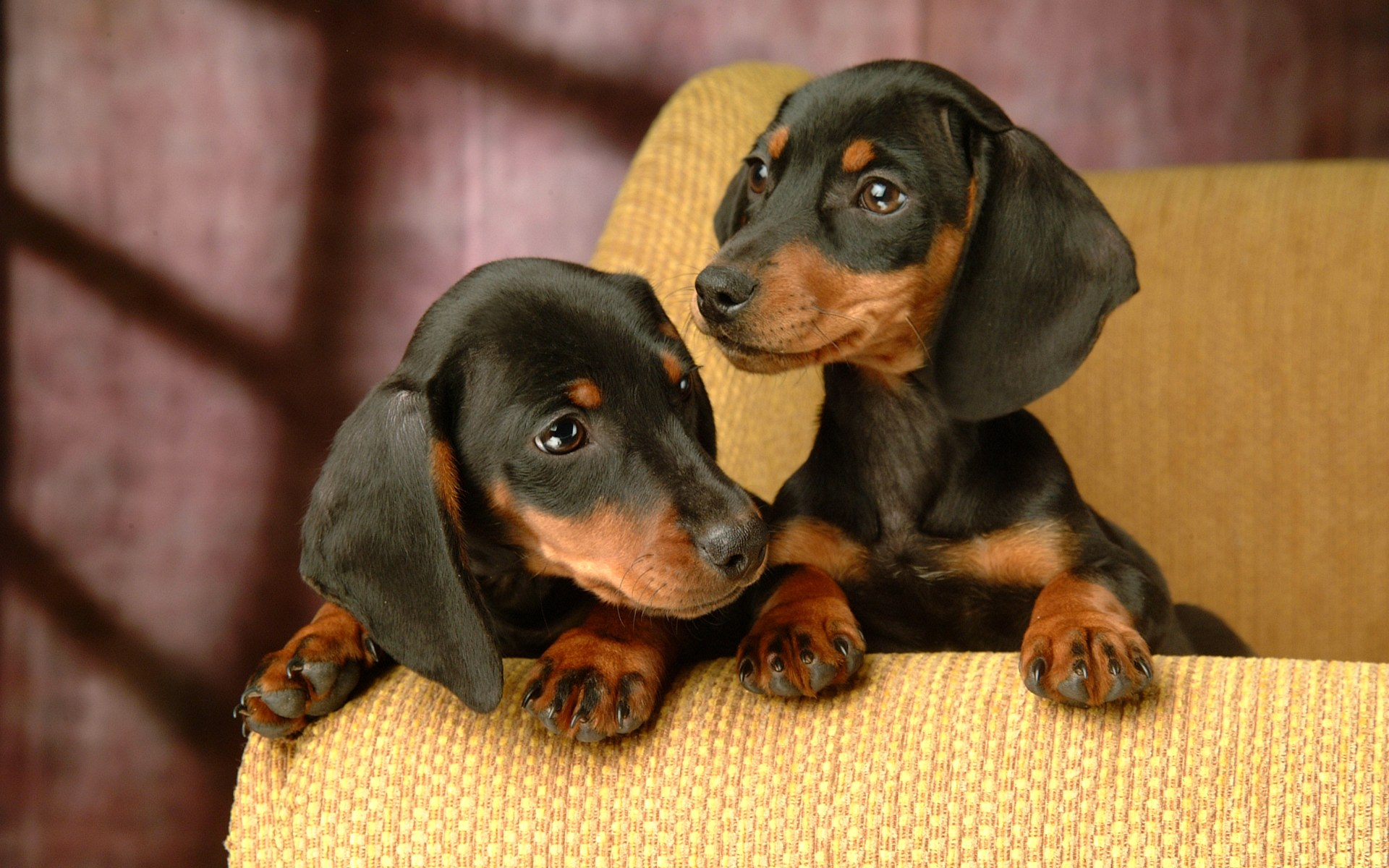 Black Wiener Dogs Puppies