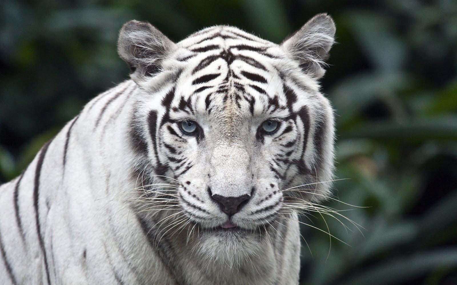 White Tiger Wallpapers White Tiger Desktop Wallpaper White 1600x1000