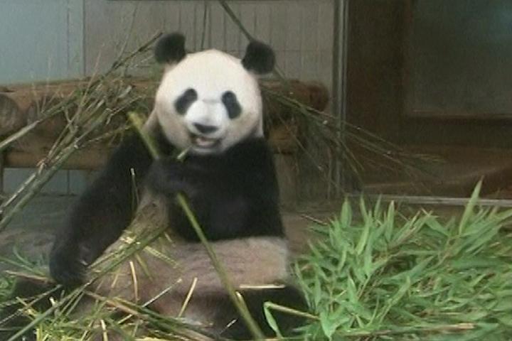 panda bear wallpaper border 720x480
