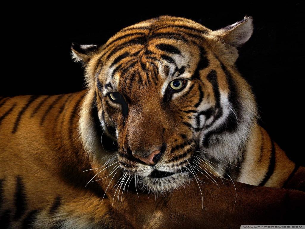 Beautiful Tiger Wallpaper Download Wallpapers 1024x768