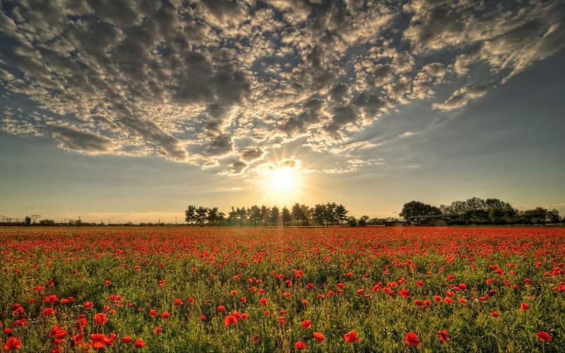 HD Field Of Poppies Wallpaper 800x500