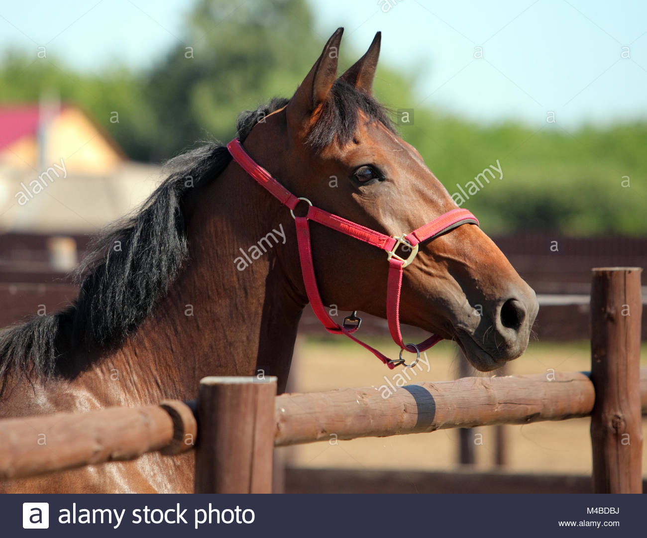 Thoroughbred bay horse against corral wooden fence background 1300x1081