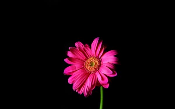 Flowers Pink Daisy Black Background 3840x2400 Wallpaper