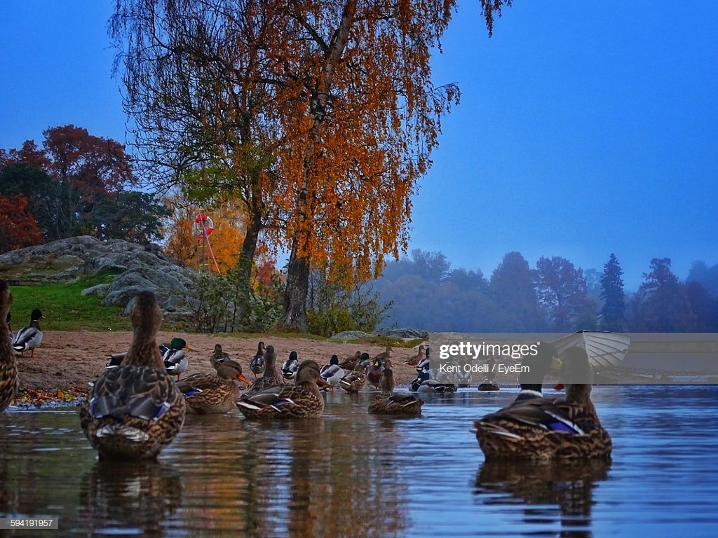Rouen Ducks Swimming In Lake Against Sky Stock Photo   Getty Images 1024x768
