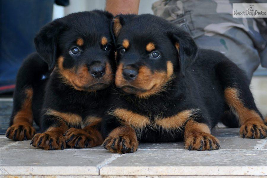 48+] Rottweiler Puppies Wallpaper on WallpaperSafari
