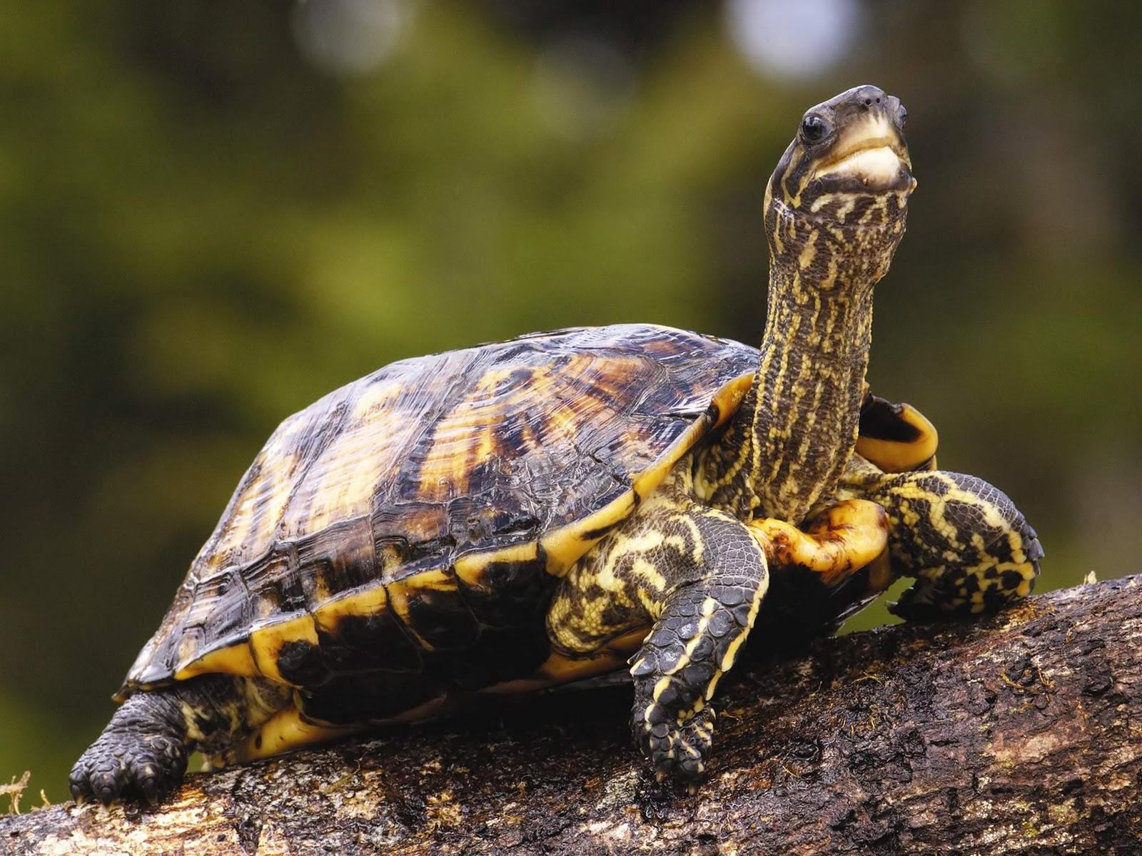 Turtle HD Wallpapers Download Desktop Wallpaper Images 1600x1200