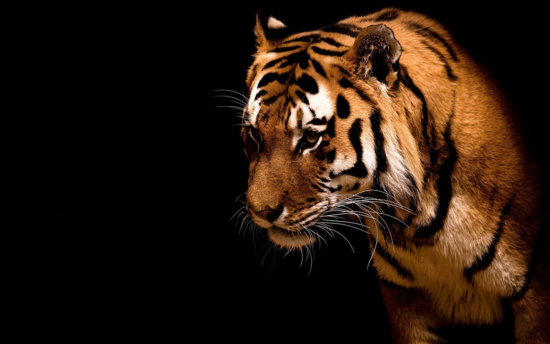 Download Sad tiger on black background High quality wallpaper 1920x1200