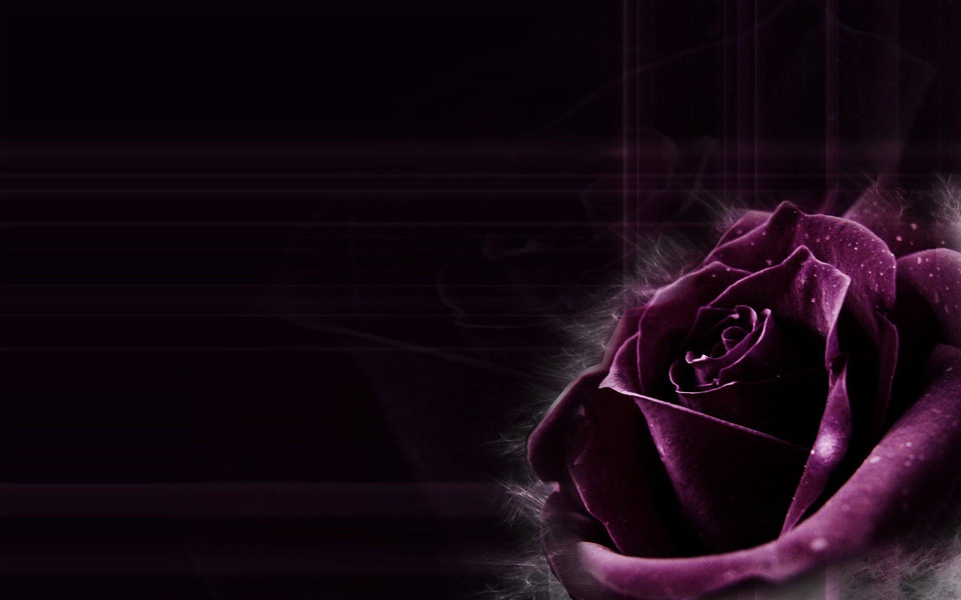 Dark Purple Roses Wallpaper Wallpapersafari
