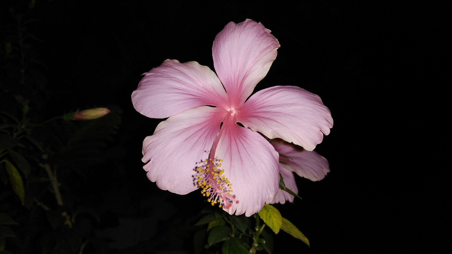 Joyous Light Pink Hibiscus Wallpaper   Wallpaper Stream 1920x1080