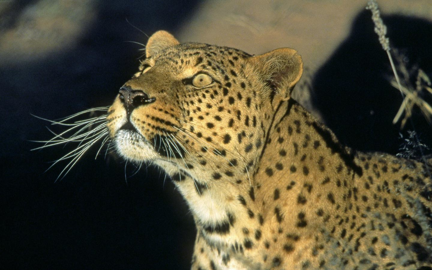 download 1440x900 leopard looking for animal leopard 1440x900