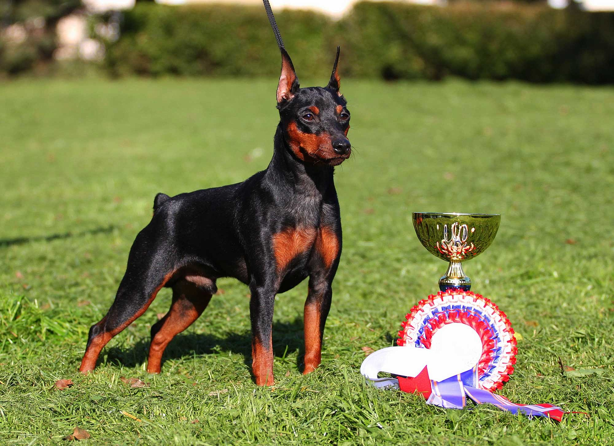 Miniature Pinscher HD Desktop Wallpapers 7wallpapersnet 2000x1453