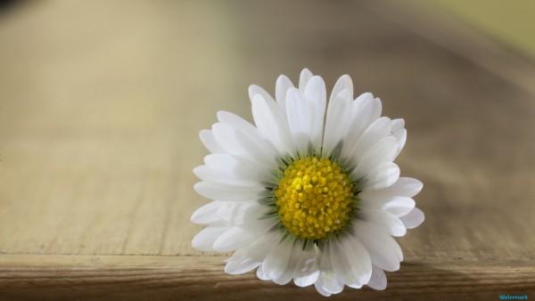 Daisy flower hd wallpapers desktop windows 81   HD Wallpaper 600x338