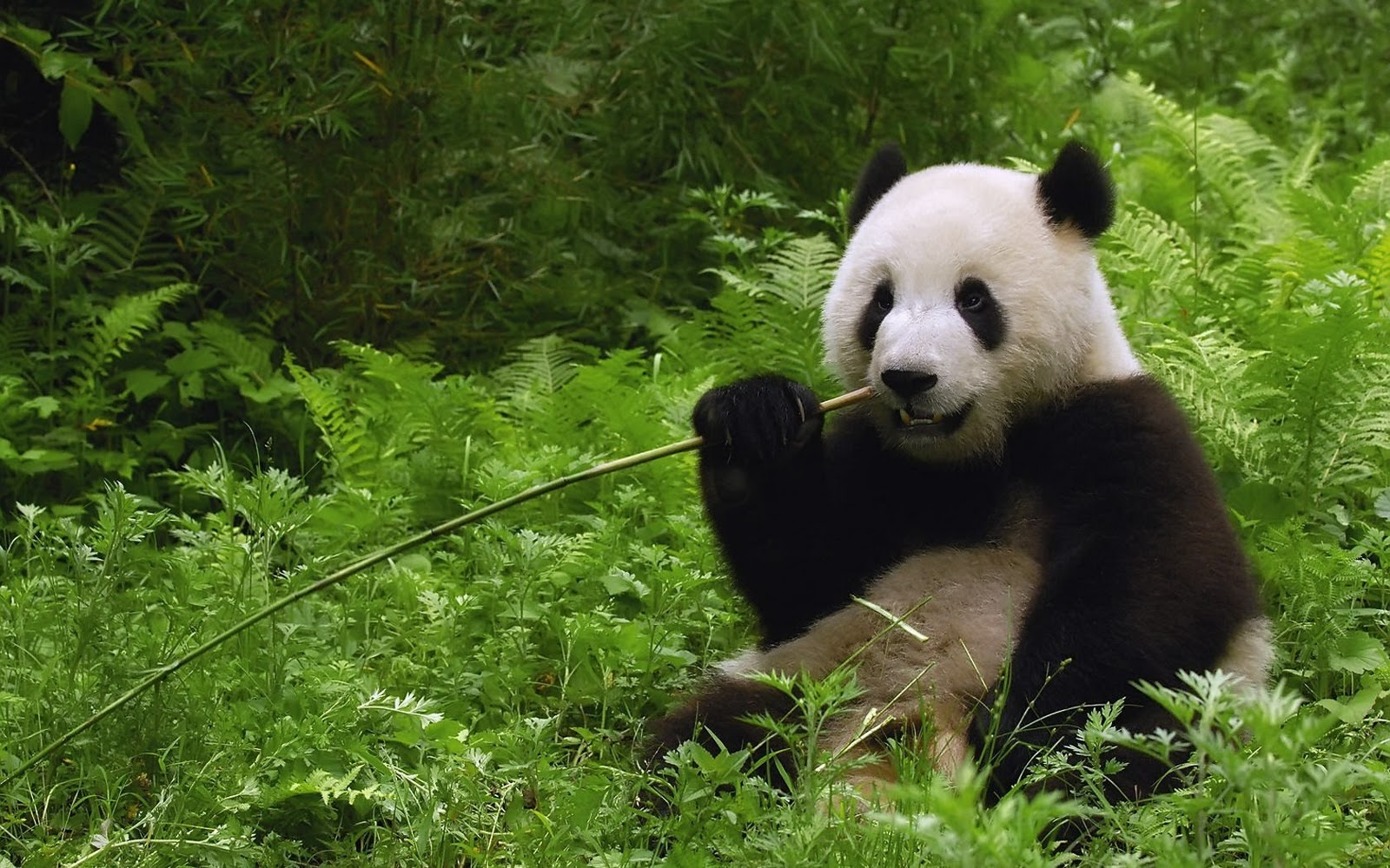 Central Wallpaper Cute Panda Bears HD Wallpapers 1600x1000