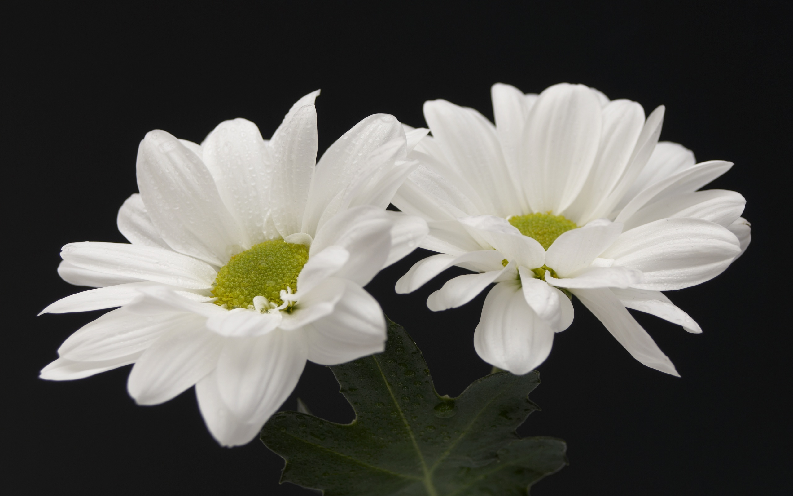 2560x1600 Two white flowers desktop PC and Mac wallpaper 2560x1600