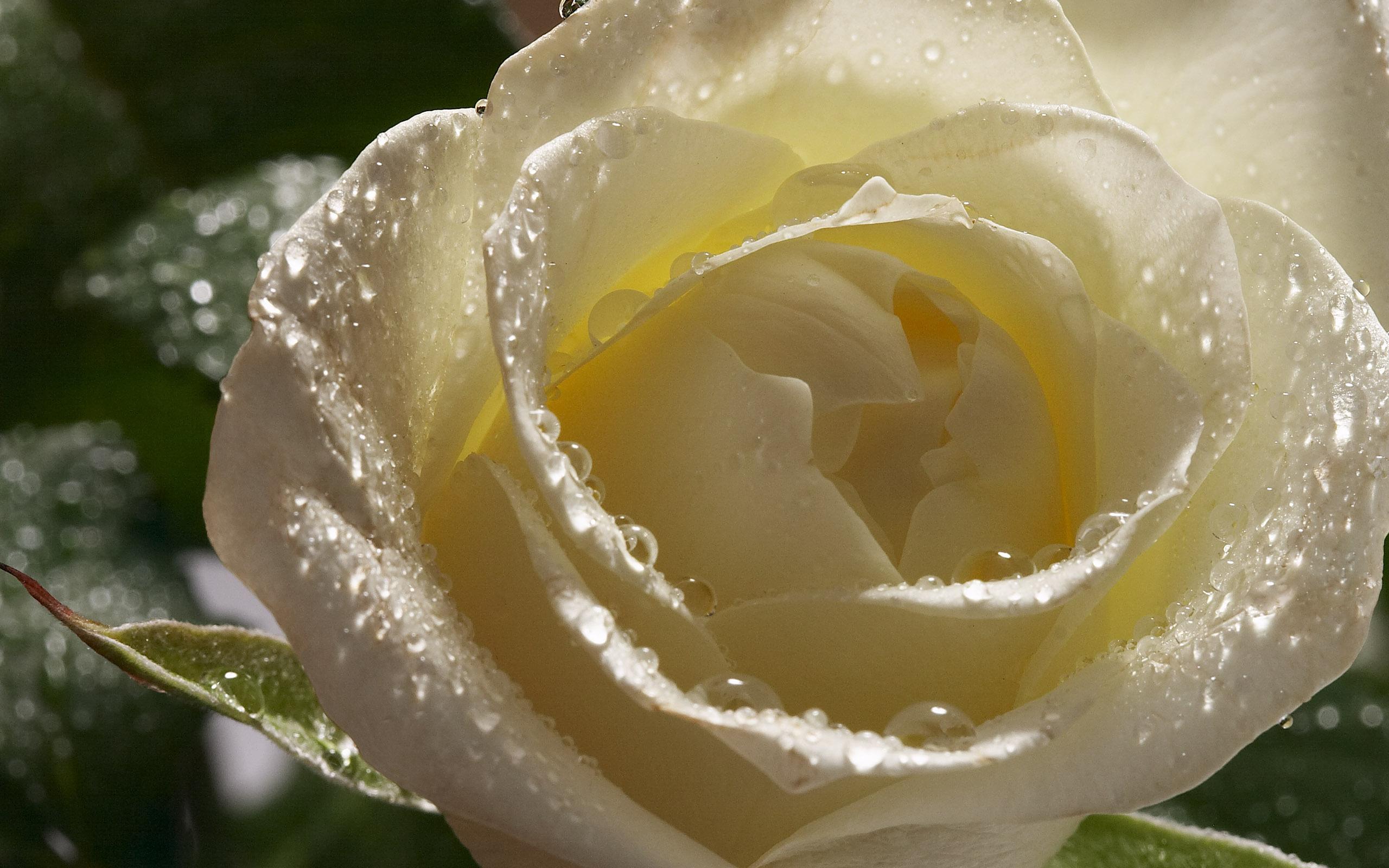White Roses Wallpaper Wallpapersafari
