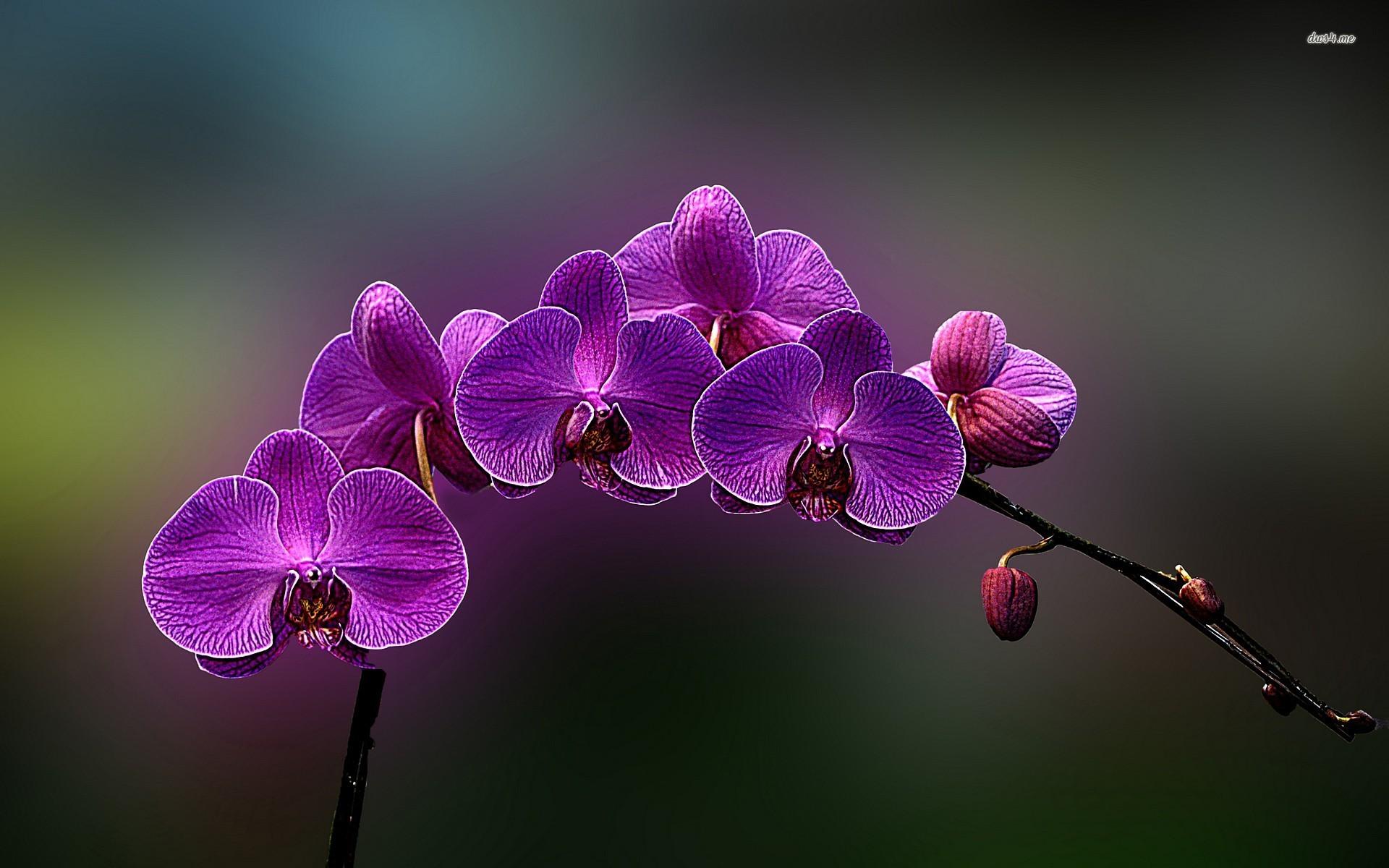 Attractive Pink Orchids Wallpaper Beautiful Desktop Wallpapers 2016
