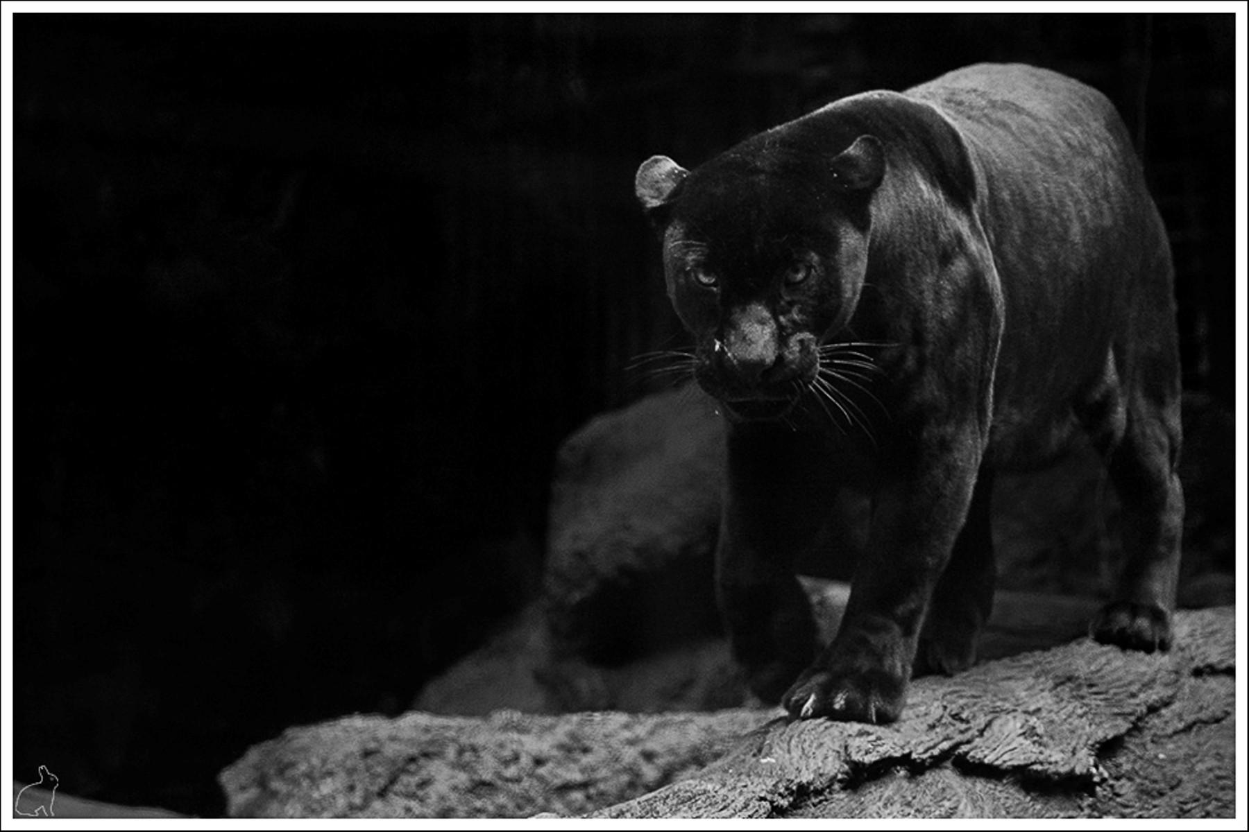 Black Jaguar Wallpaper Animal Pictures Black Jaguar Wallpaper 1800x1200