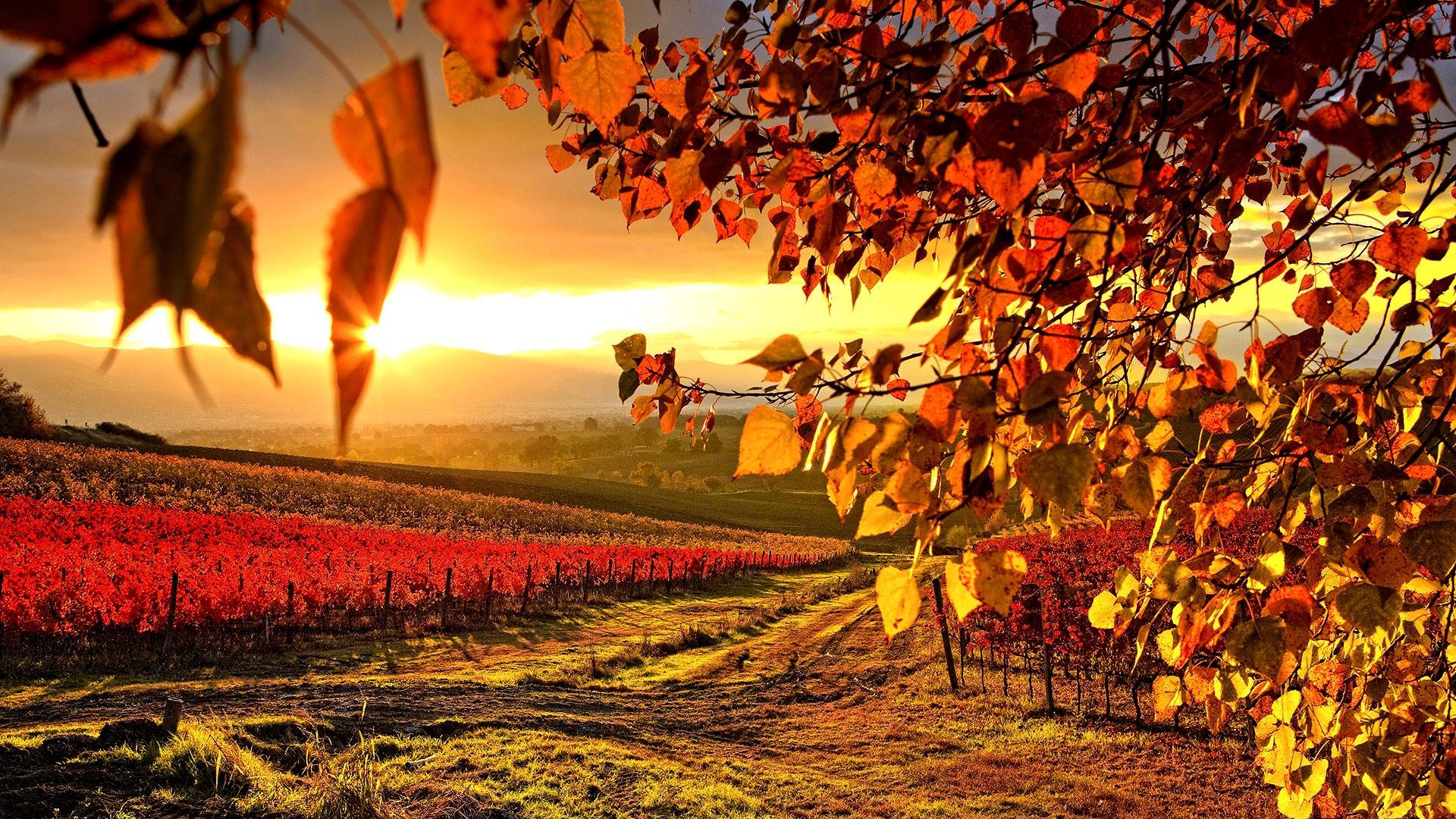 Beautiful Vineyard Autumn Wallpaper Full HD Wallpaper with 1920x1080 1920x1080