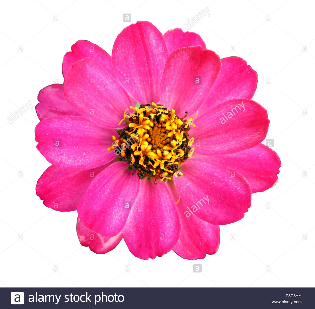Colorful pink zinnia flower isolated on white background closeup 1300x1278