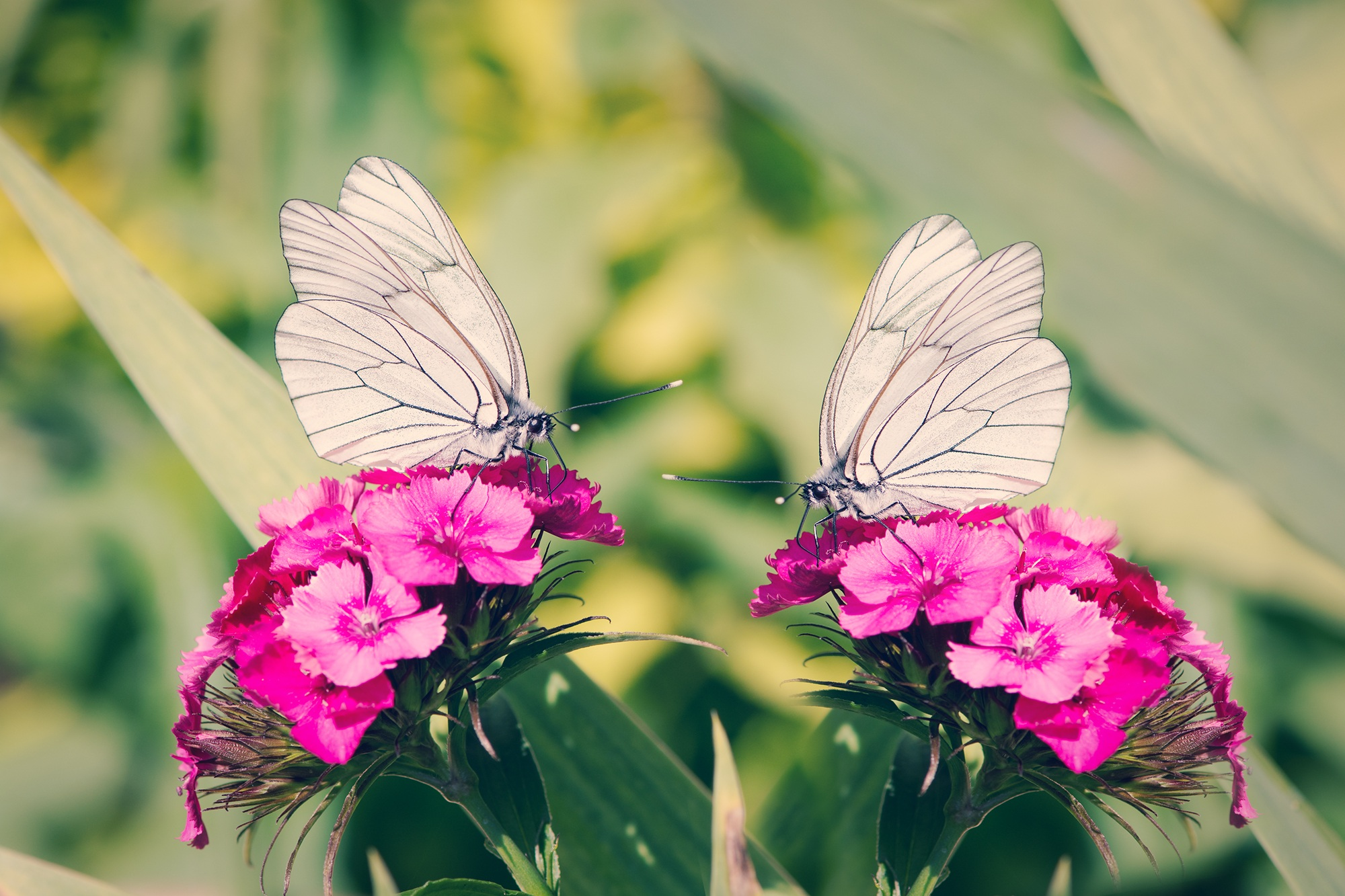 Two white butterflies on pink carnations Dianthus HD Wallpaper 2000x1333