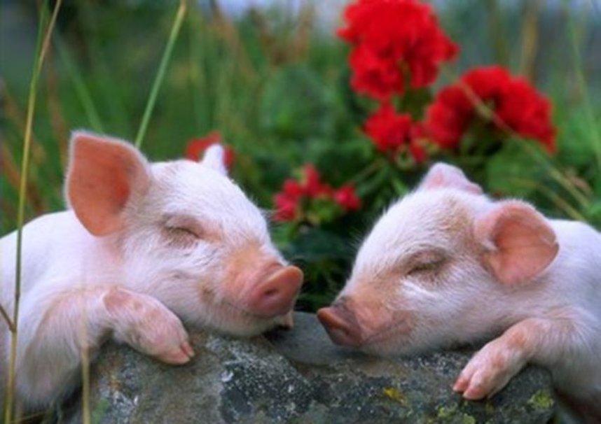 porco bonito dormindo Vetor   ForWallpapercom 858x606