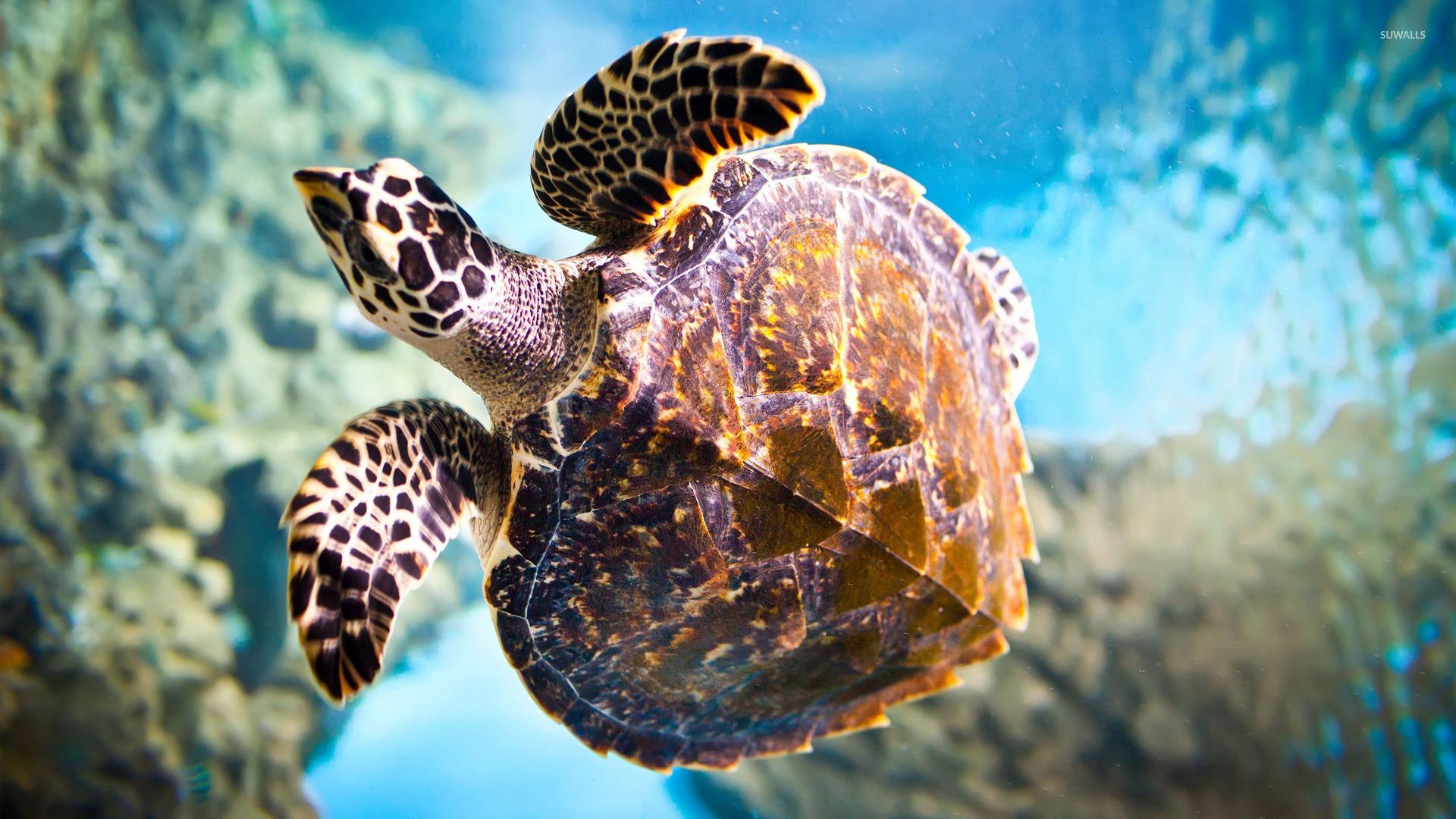 Sea Turtle Wallpaper Animal 1920x1080
