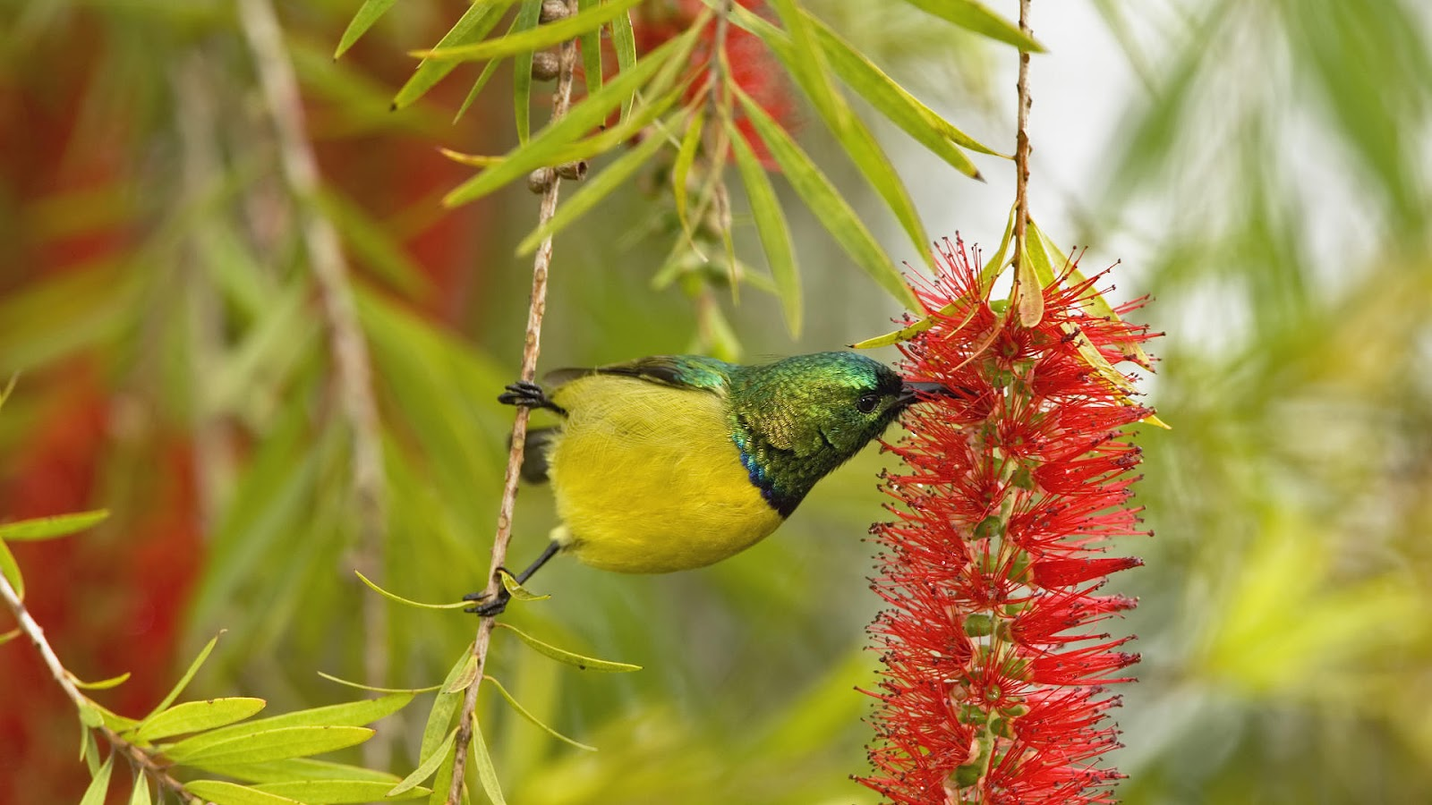 bird wallpaper with a bird eating from a flower birds wallpapersjpg 1600x900