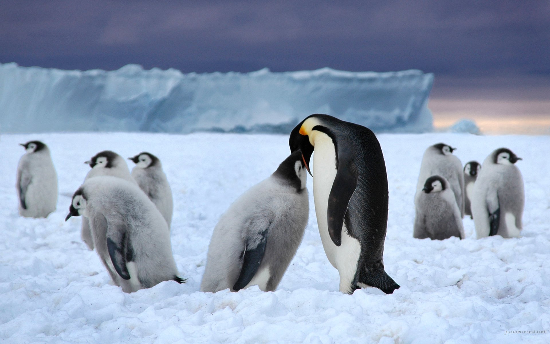 Emperor Penguin HD Wallpaper Background Image 1920x1200 ID 1920x1200