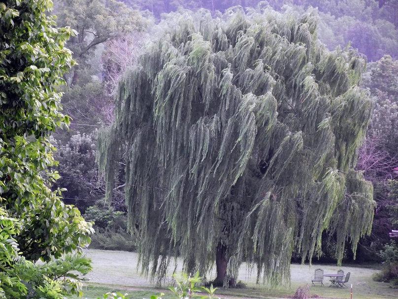 weeping willow wallpaper   ForWallpapercom 808x606