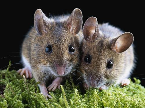 Rodent hamster couple beautiful desktop wallpapers 1600x1200 HQ 501x376