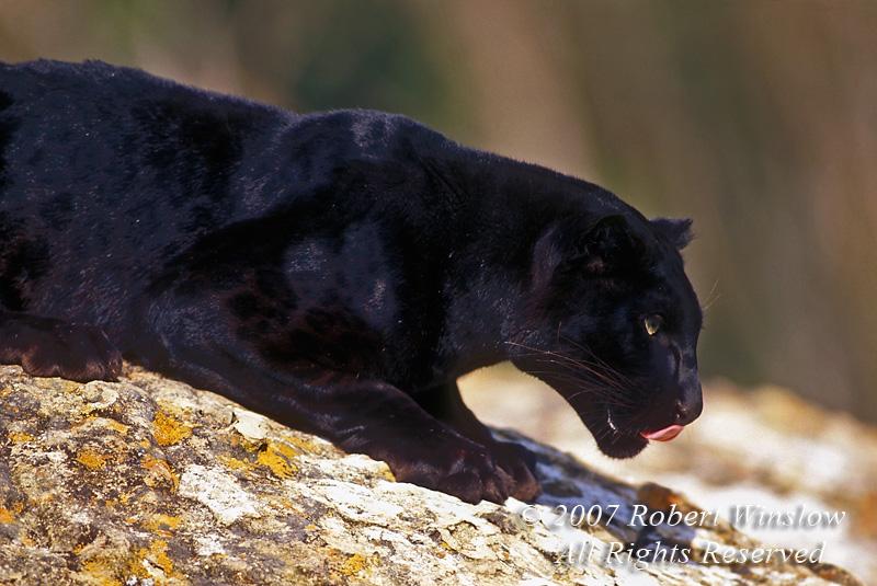 Black Leopard Wallpaper Zoom 800x535