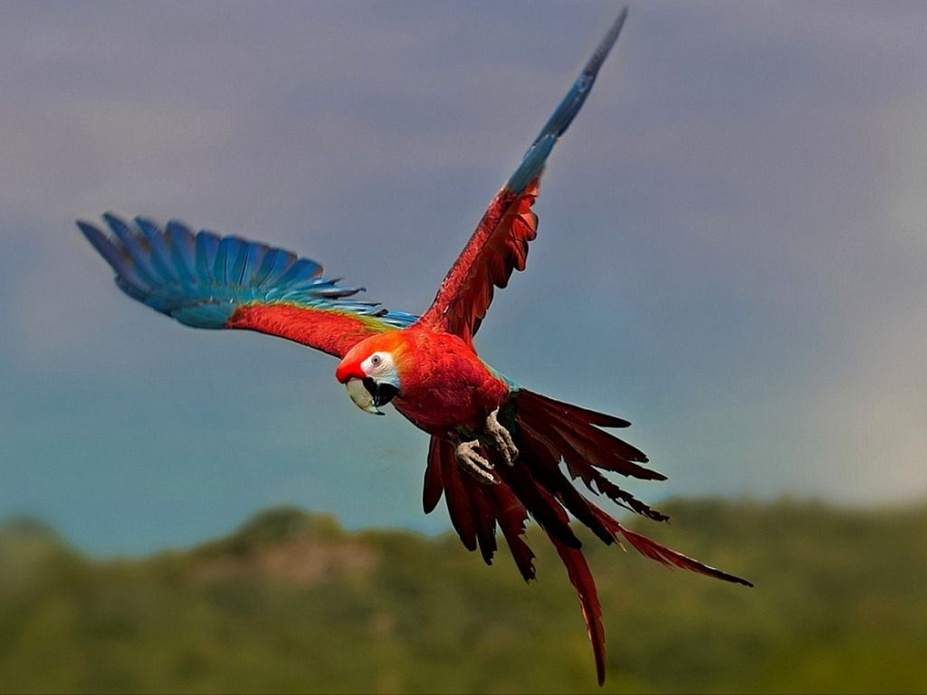 Parrot Wallpapers Download HD Wallpapers Pictures 1024x768
