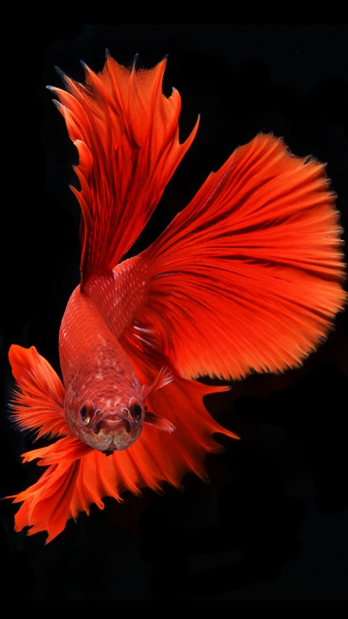 iPhone 6s Wallpaper with Red Veil Tail Betta Fish in Dark Background 500x889