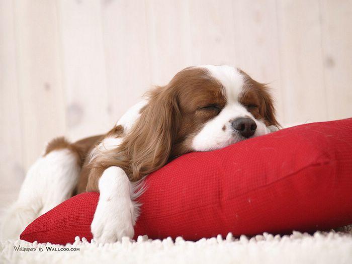 photographs of pet dogs   16001200 Pet Dog   lovely Puppy Desktop 1 700x525