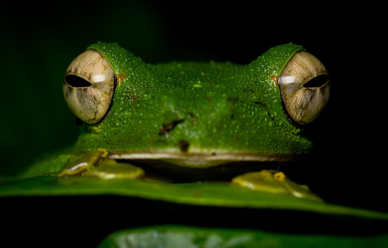 Wallpaper animals eyes macro close up frog black background 1332x850