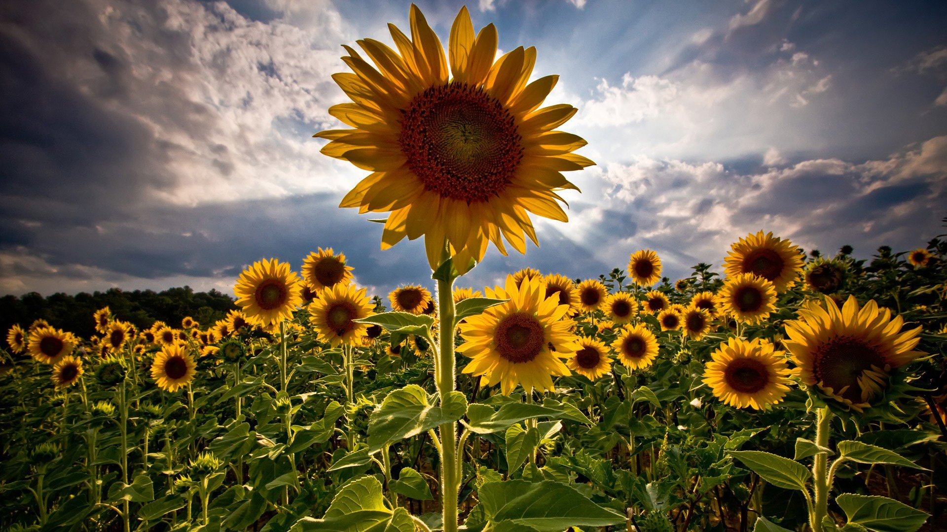 Sunflowers Field   1920x1080   169 1920x1080